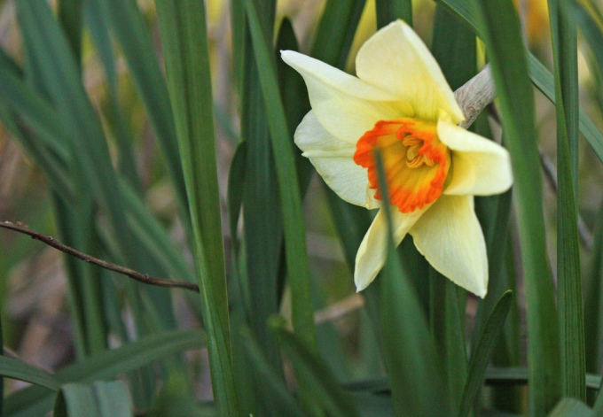 A photo of a single daffodil among green stems
